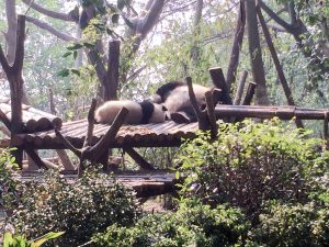 Giant Panda Sanctuary Chengdu